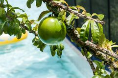 Fresh Crescentia cujete on Calabash Tree. Crescentia cujete is a tree from the intertropical zone of the bignoniaceae family, originally from America, about 5 royalty free stock photo
