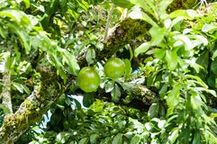 Fresh Crescentia cujete on Calabash Tree. Crescentia cujete is a tree from the intertropical zone of the bignoniaceae family, originally from America, about 5 stock photo