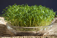 Fresh cress. Fresh green cress growing from a glass bowl Royalty Free Stock Photography