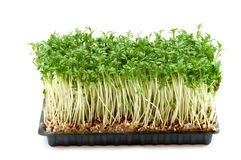 Fresh cress Stock Photography