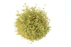 Fresh cress, Royalty Free Stock Image