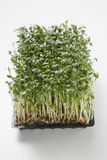 Fresh cress. In seed tray Royalty Free Stock Photos