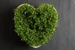 Fresh cress in a bowl Royalty Free Stock Photography