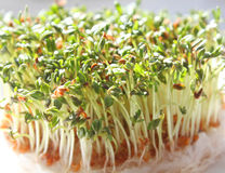 Fresh Cress Stock Image