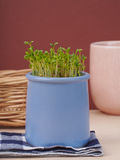 Fresh cress. Growing in a pot Stock Images