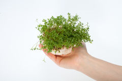 Fresh cress in the hand Stock Image