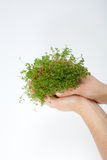 Fresh cress in the hand Royalty Free Stock Images