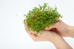 Fresh cress in the hand Stock Photos