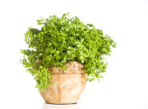 Fresh cress herb in a pot over white Stock Images
