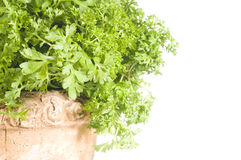 Fresh cress herb in a pot over white Royalty Free Stock Photos
