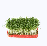Fresh cress salad. Tied with a red bow stock photo