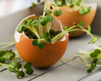 Fresh Cress salad in  brown eggshell. Royalty Free Stock Images