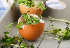 Fresh Cress salad in an eggshell. Royalty Free Stock Photo