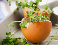 Fresh Cress salad in  eggshell. Stock Images
