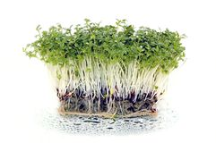 Fresh cress salad with water drops. Freshly grown green cress salad with water drops Stock Photo