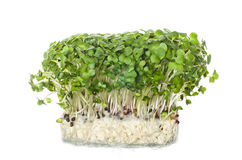 Fresh cress salad on white background. Selective focus Royalty Free Stock Photography