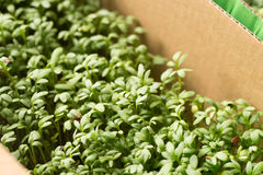 Fresh cress sprouting. Closeup to fresh cress sprouting Royalty Free Stock Images