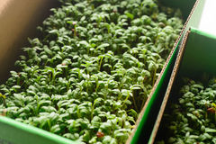 Fresh cress sprouting. Closeup to fresh cress sprouting Stock Image