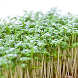 Fresh cress sprouts. Fresh cress isolated on white background Stock Image