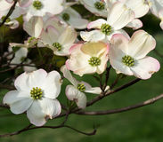 Fresh Crisp Cluster Of Dogwood Blooms. An April blooming groups of flower sunlit and crisp Royalty Free Stock Photo