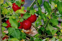 Fresh, crisp and delicious Washington state red apples royalty free stock images