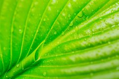 Detail of leaf with convergent nervures leading to a leaf bud. Fresh crisp leaf covered in water droplets after the rain Stock Photo