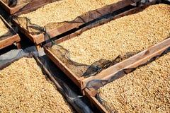 Fresh crop of arabica. Coffee beans drying in the sun. Fresh crop of arabica. Top view of coffee beans drying in the sun on wooden pallets Stock Photography