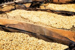 Fresh crop of arabica coffee beans drying in the sun. On wooden pallets. Shallow depth of field Stock Image