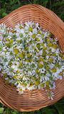 Fresh crop of chamomile flowers. Freshly gathered tea herbs in summer royalty free stock photo