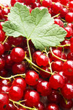 Fresh cropped redcurrants with leaves Royalty Free Stock Photo