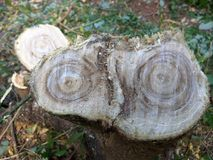 Fresh cross section of a tree brench joint stock photography