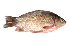 Fresh crucian Stock Photography