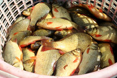 Fresh crucian  fish on a shop counter. Crucian Stock Images