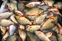 Fresh crucian  fish on a shop counter. Crucian Stock Photos