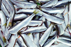Fresh crude anchovies. Prepared for processing Stock Images