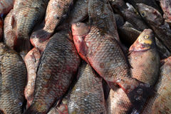 Fresh crude fish lies, a background Royalty Free Stock Images