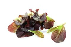 Fresh crunchy red lettuce Royalty Free Stock Photography