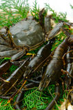 Fresh crustacean Royalty Free Stock Image