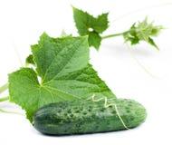 Fresh cucumber Royalty Free Stock Image