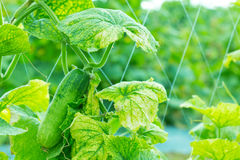 Fresh cucumber in farm. Stock Image