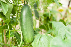 Cucumber. Fresh cucumber growing in the garden Stock Photography