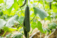 Fresh Cucumber Growing In Greenhouse Royalty Free Stock Image