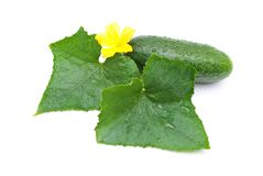 Fresh cucumber with leafs and flower Royalty Free Stock Photography