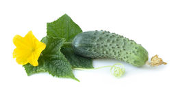 Fresh cucumber on a white background. Fresh ripe cucumber with leaves and flower. Isolated on white background Stock Images
