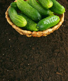 Fresh cucumbers in basket on earth. Royalty Free Stock Image