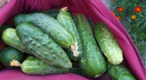 Fresh cucumbers in a burgundy cloth Royalty Free Stock Photo