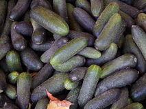 Fresh cucumbers collected on the farm. Close-up Stock Images