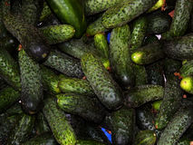 Fresh cucumbers collected on the farm. Close-up Royalty Free Stock Photo