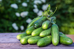 Fresh cucumbers collected in the garden Stock Photography