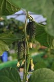 Fresh cucumbers Royalty Free Stock Image